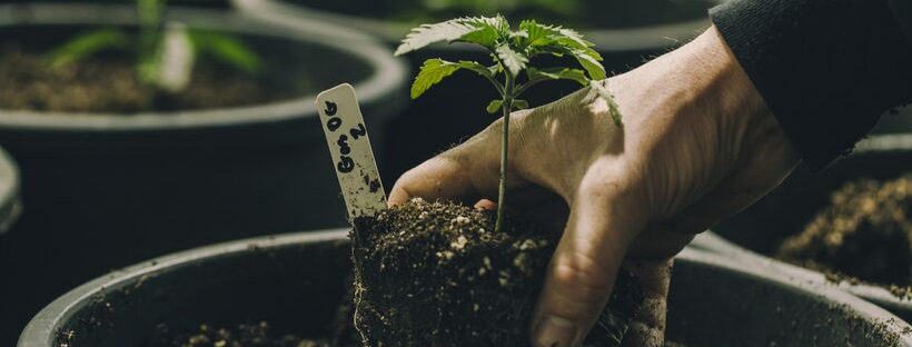 Growing Habits of Sativa vs Indica