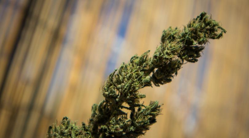 20 Best and Strongest Marijuana Strains of 2019